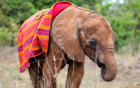 Heritage Adopts an Elephant